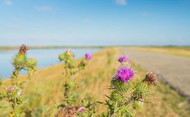 image of spiky plants  - Dutch dike along the water and in the foreground a pink flowering spear thistle plant on the roadside - JPG