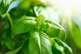picture of basil leaves  - Fresh Leaves of Basil close up - JPG