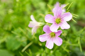 stock photo of sorrel  - The Pink Wood Sorrel Oxalis Articulata Subsp - JPG
