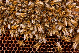 foto of honeycomb  - Busy bees close up view of the working bees on honeycomb - JPG