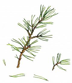foto of pine-needle  - pine branches and pine needles drawing by watercolor - JPG