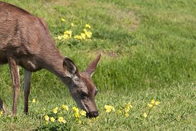 picture of blacktail  - a blacktail deer doe in a field along the california coast - JPG