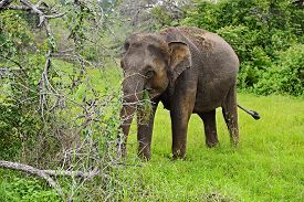 picture of indian elephant  - Indian elephants in the wild natural habitat - JPG