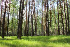 image of birchwood  - image of beautiful birchwood in the spring in May - JPG