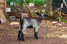 foto of baby goat  - Two little baby goats on the farm - JPG