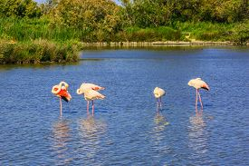 foto of pink flamingos  - Sunset in the national park of Camargue in  delta of Rhone - JPG