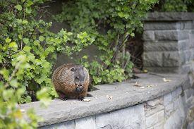 stock photo of groundhog  - Groundhog sitting on a rock wall eating nuts - JPG