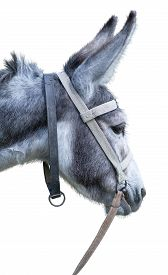 picture of headstrong  - the Donkey isolated on the white background - JPG