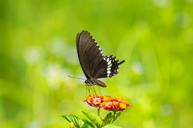 picture of lantana  - Common Mormon butterfly Papilio palytes on Lantana flower - JPG