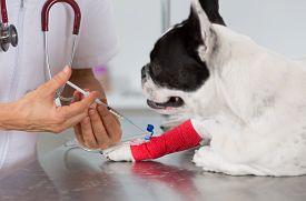 stock photo of catheter  - Veterinary placing a catheter via a French bulldog in the clinic  - JPG