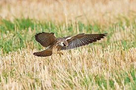 pic of falcons  - Red footed falcon hunting for insects in a crop field  - JPG