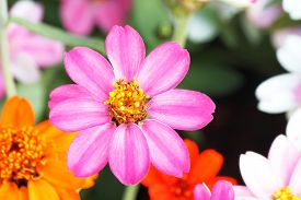 stock photo of zinnias  - Beautiful white Narrow leaf Zinnia or Classic Zinnia flowers - JPG