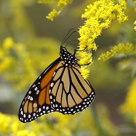 pic of goldenrod  - A Monarch Butterfly  - JPG