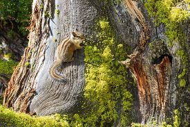 picture of chipmunks  - Chipmunk On The Tree - JPG
