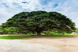 stock photo of mimosa  - Single giant mimosa tree in Kanchanaburi - JPG