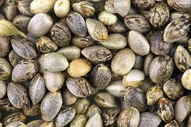 foto of seed bearing  - Close view of hemp seeds macro photo for background - JPG
