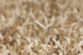 image of carbohydrate  - Macro photography of the grain - JPG