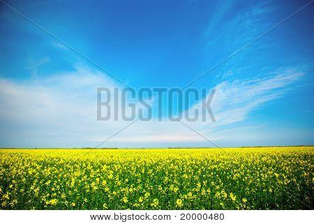 Colza champ jaune en fleurs avec ciel bleu et nuages blancs