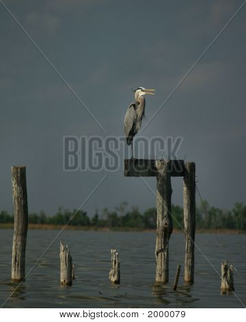 Great Blue Heron standing on pier