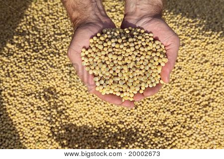 Soybean Harvest