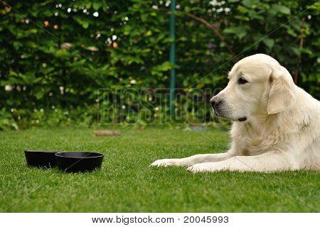 Golden retriever lie on grass