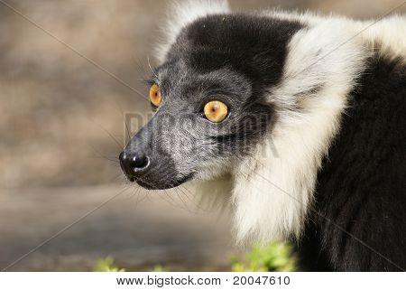 Black-and-white Ruffed Lemur - Varecia Variegata