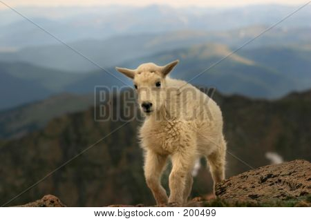 Baby Mountain Goat Mt Evans 3