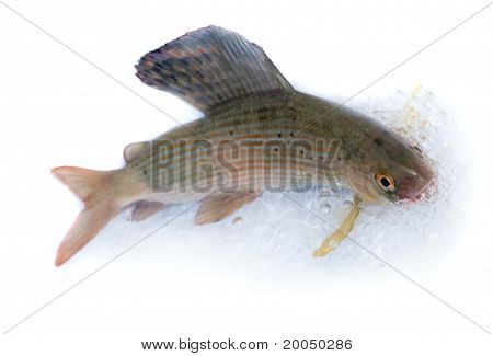 Arctic grayling or trout