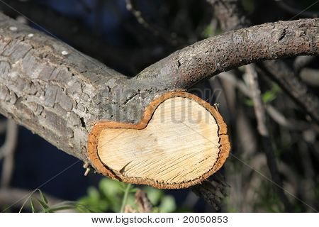 Tree Annual Rings