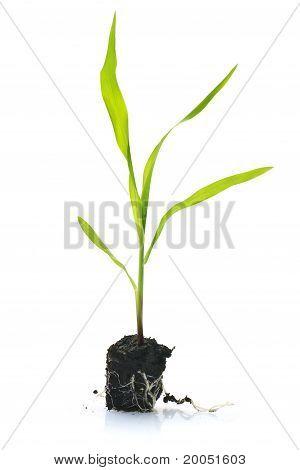 Sweetcorn seedling