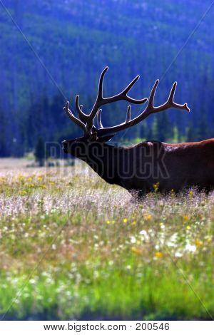 Elk With Lit Velvet 2 Yellowstone
