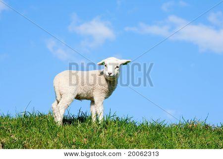 Niedliche Lamm