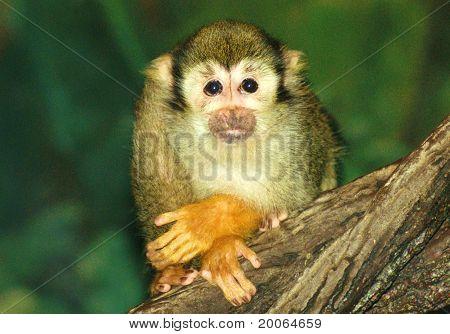 Spider monkey posing