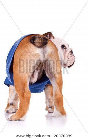 Back Of An English Bulldog Puppy