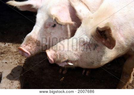 Pig Pair