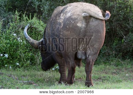 Buffalo Backside
