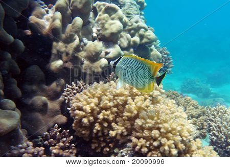 Black-tail Pearlscal Butterfly Fish