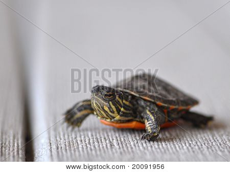 Hatchling Of Midland Painted Turtle (chrysemys Bellii Marginata)