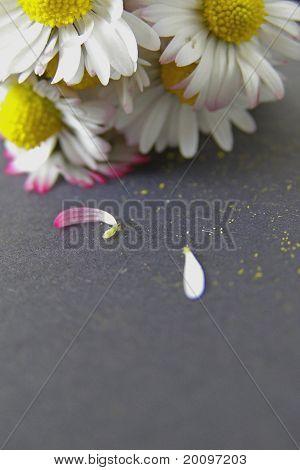 Daisy flowers still life
