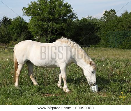 White Horse Eating Salt Lick