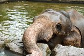 stock photo of wallow  - elephant relaxing in the wallow at the safari zoo - JPG
