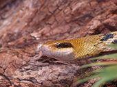 Постер, плакат: Крыс змеи Четырёхполосый Taeniura