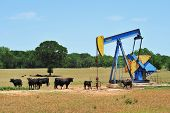 stock photo of brahma  - Oil well pumper and Brahma cattle in West Texas - JPG