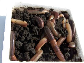 picture of nightcrawler  - Muddy and dirty earthworms in dirt of a styrofoam container - JPG
