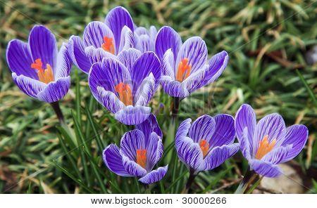 紫色和白色的番红花