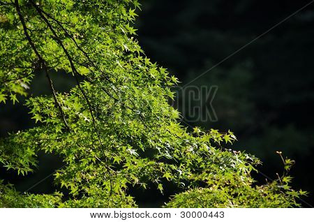 秋季日本枫树