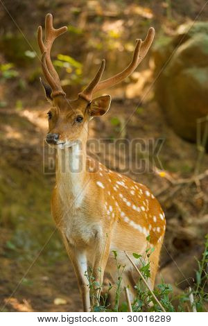 Formosan Sika Deer Forest V