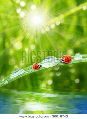 Fresh morning dew on a spring grass and two little ladybug drinking from drops, natural background. Sunny day concept.