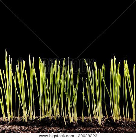 Green Grass Growing On The Black Background