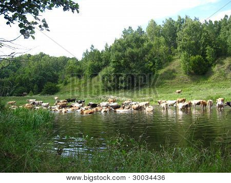 Landscape with the river,forest and cows